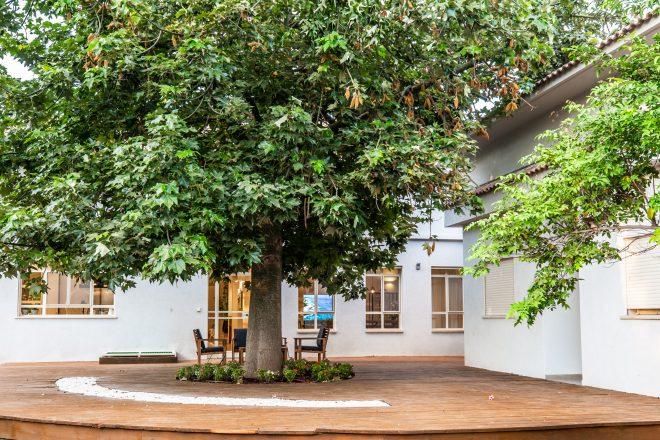 עץ ותיק ומרהיב עם פריחה ורודה ואביבית